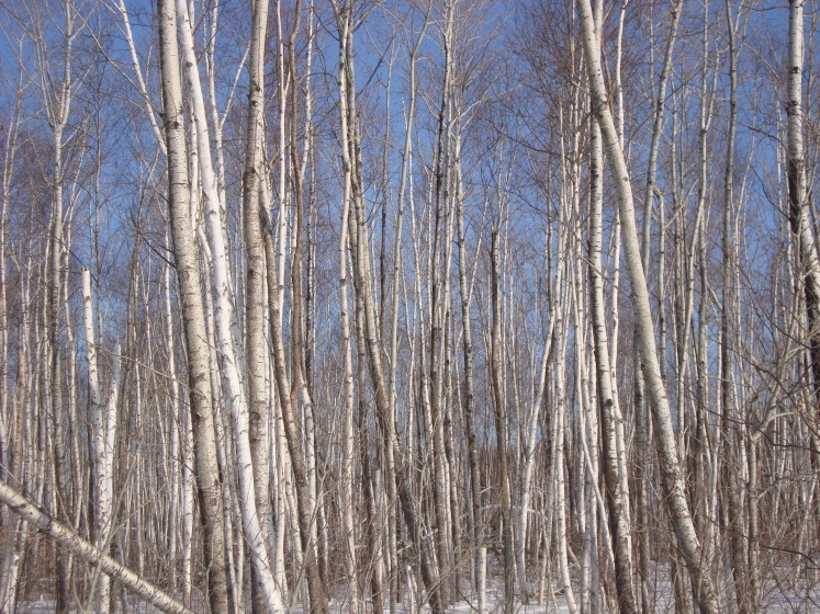 mn winter birch trees