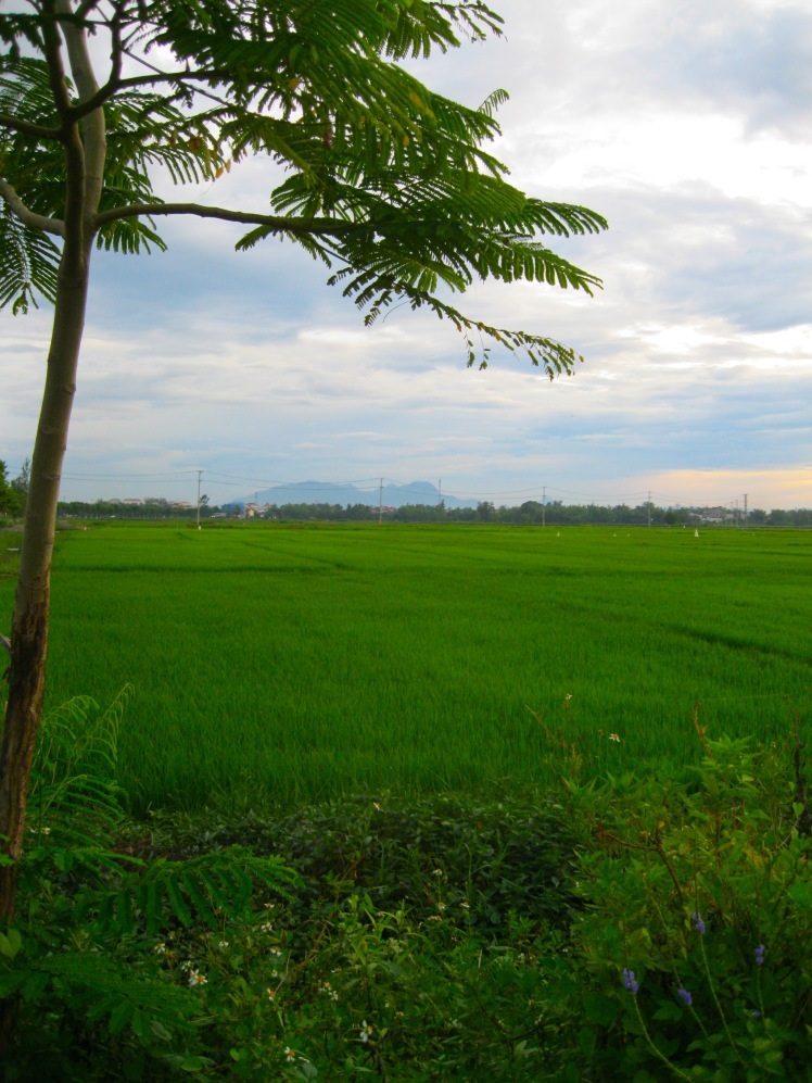 Rice paddies stretch as far as the eye can see just outside old town, Hoi An. Photo by Charish Badzinski.