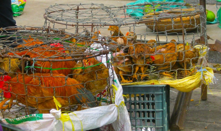 Live chickens on offer at the Central Market in Hoi An, Vietnam. Photo by Charish Badzinski.